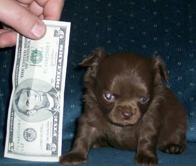 TEACUP CHIHUAHUA PUPPIES FOR SALE